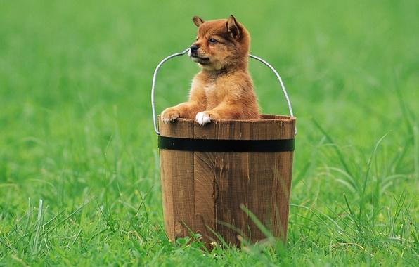 Картинка трава, взгляд, ведро, щенок