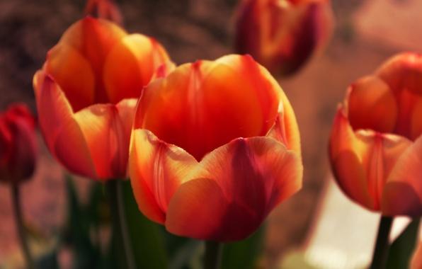 Картинка Макро, Цветы, Природа, Весна, Листья, Тюльпаны, Бутоны, Лепестки, Растения