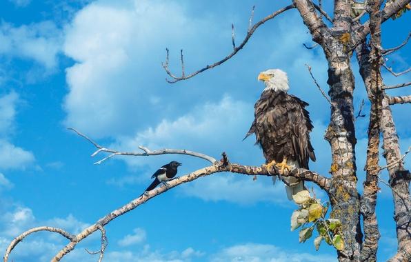 Картинка небо, дерево, птица, ветка, белоголовый орлан, сорока