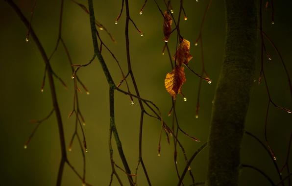 Картинка осень, капли, макро, листва, ветка