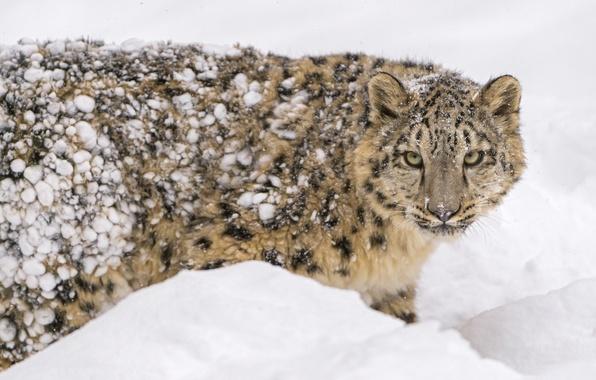 Картинка зима, морда, снег, хищник, пятна, мех, ирбис, снежный барс, детёныш, дикая кошка, зоопарк, молодой, снежный …