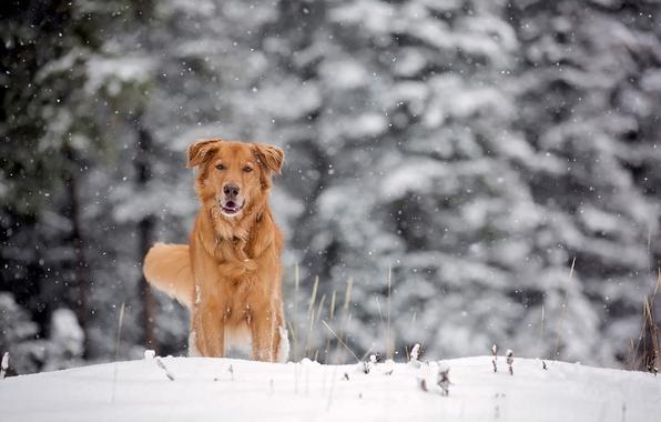 Картинка зима, снег, собака, рыжая