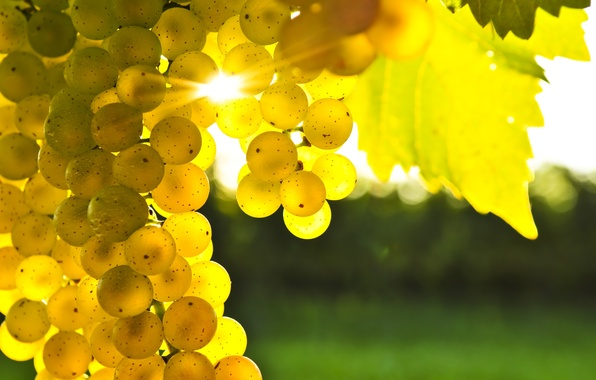 Картинка листья, желтый, виноград, гроздь, блик солнца