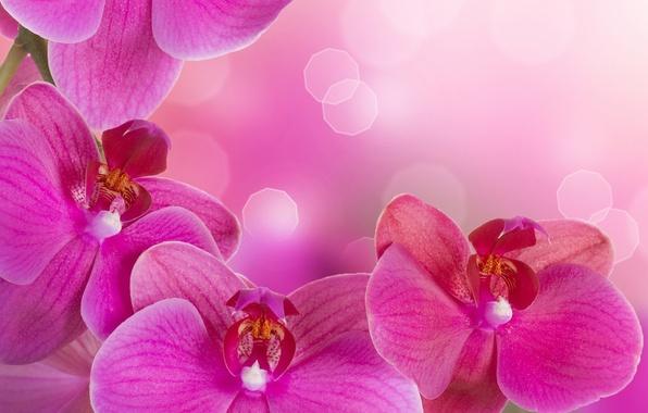 Картинка цветы, нежность, красота, лепестки, орхидеи, орхидея, pink, flowers, beauty, фаленопсис, phalaenopsis, Orchid, petals, tenderness, bright, …