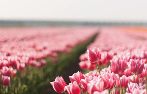 Картинка поле, лето, цветы, природа, фото, обои, тюльпаны, картинка
