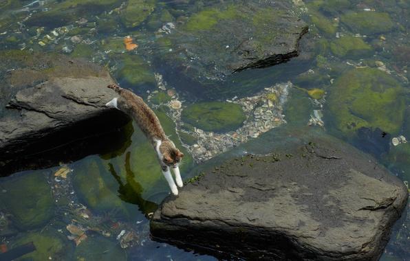 Картинка кот, вода, водоросли, камни, прыжок, мель