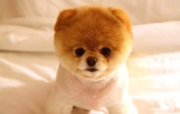 Картинка глаза, взгляд, морда, собака, пушистый, пес, носик, породы, Померанский шпиц