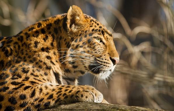 Картинка морда, хищник, леопард, профиль, мех, дикая кошка