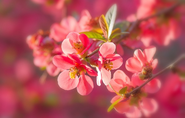 Картинка макро, ветки, природа, цветение, цветки, айва
