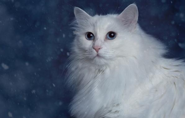 Картинка кошка, портрет, белая, пушистая, Турецкая ангора, Ангорка