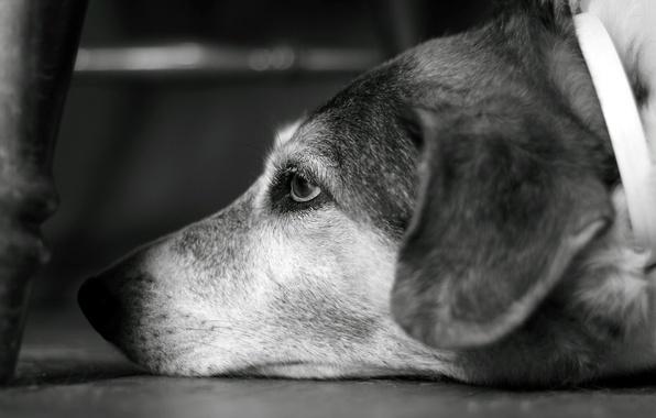 Картинка взгляд, собака, ч/б, dog, боке, bokeh, пёсик, 2560x1600, look, b&w