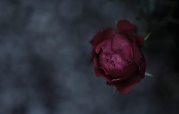 Картинка макро, фон, настроение, роза, фокус, текстура, лепестки, стебель, бутон, rose, flower, nature, beautiful