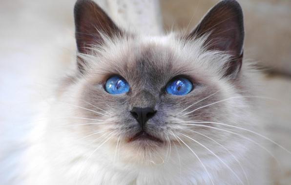 Картинка кошка, взгляд, Кот, cat, blue eyes, порода, Священная Бирма, бирманская, Saint Birman, синеглазая