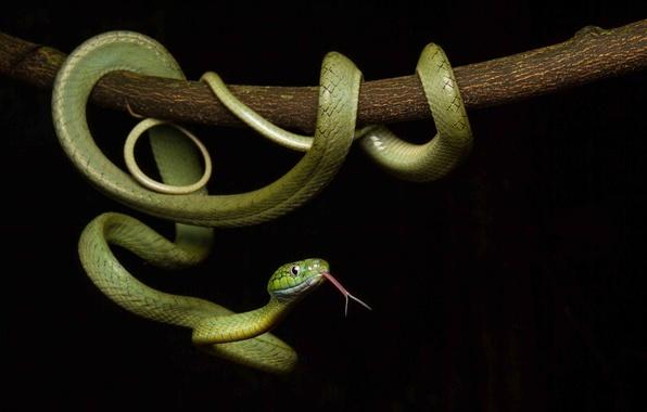 Картинка змея, чешуя, окрас, черный фон, зеленая
