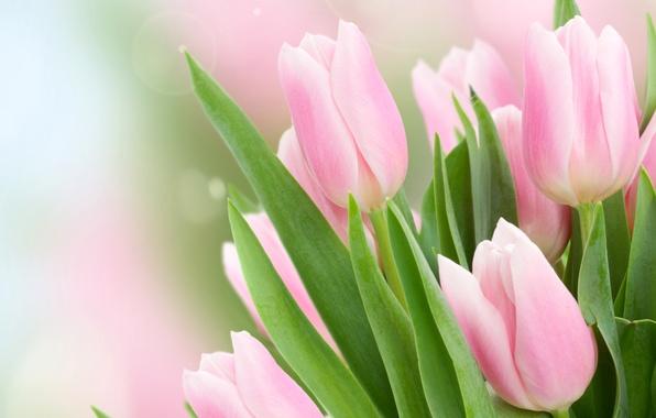 Картинка листья, блики, фон, тюльпаны, розовые, бутоны, боке, крупным планом