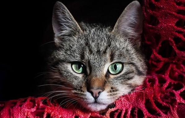 Картинка кошка, глаза, кот, морда, серый, зеленые, ткань, красная, полосатый