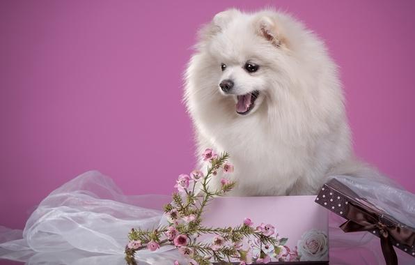 Картинка белый, цветы, коробка, пушистый, щенок, шпиц