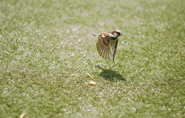 Картинка трава, полет, движение, птица, крылья, воробей, птичка, боке, крошки