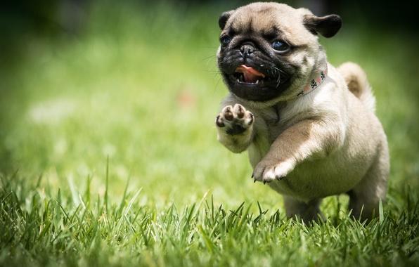 Картинка трава, собака, бег, мопс, щенок, прогулка