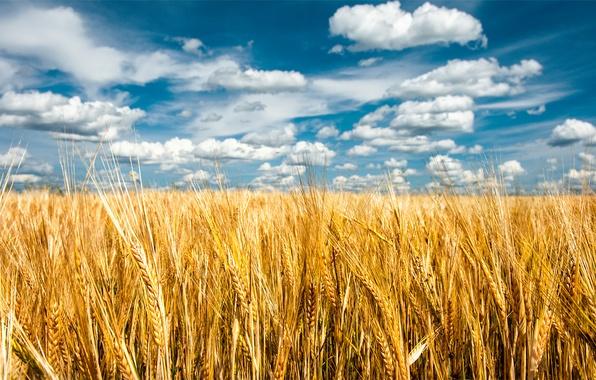 Картинка поле, лето, небо, природа, колоски