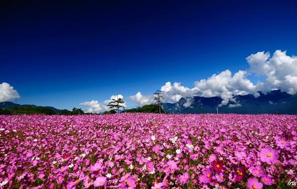 Картинка поле, лето, облака, деревья, цветы, горы, холмы, розовые, солнечно, космея