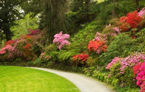 Картинка деревья, цветы, парк, газон, дорожка, Великобритания, кусты, азалия, Bodnant Gardens Wales