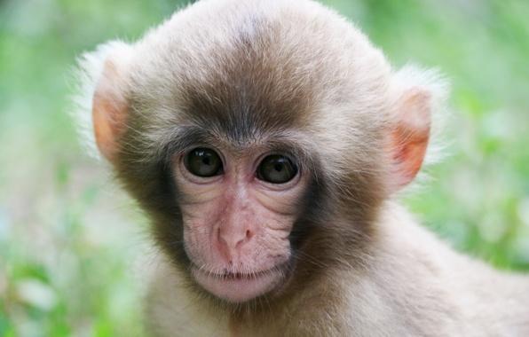 Картинка мордочка, обезьяна, обезьянка