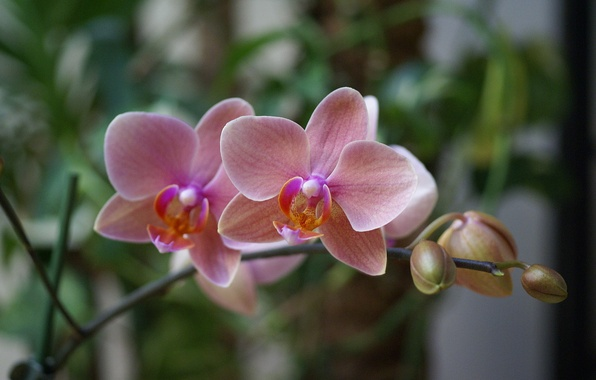 Картинка цветы, розовая, красота, экзотика, орхидея, pink, blossom, фаленопсис, phalaenopsis, Orchid, beautiful wallpapers