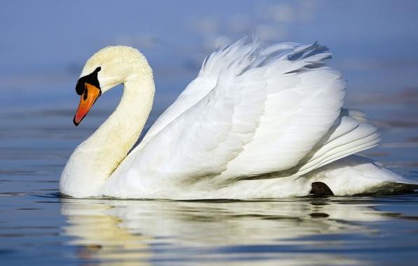 Картинка белый, птица, лебедь, плывет