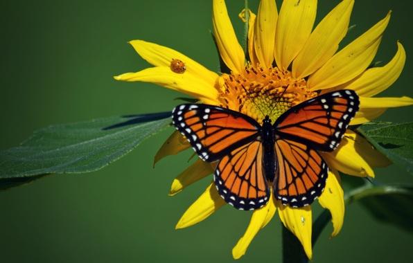 Картинка макро, насекомые, бабочка, божья коровка, подсолнух, жук, Данаида монарх