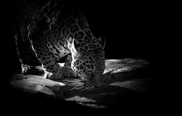 Картинка вода, камни, животное, хищник, ягуар, водопой, чёрный фон