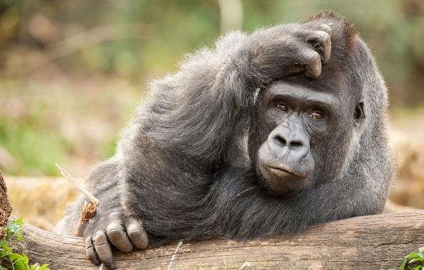 Картинка обезьяна, горилла, примат