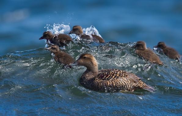 Картинка вода, волна, утята, утка, птенцы, сёрфинг, Обыкновенная гага