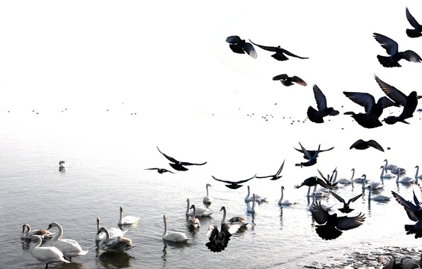 Картинка птицы, голубь, лебедь, водоем