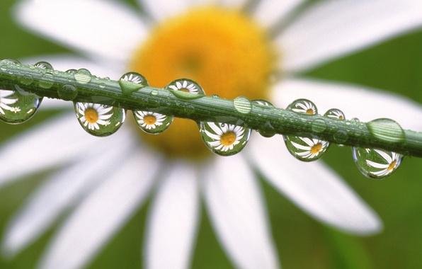 Картинка капли, цветы, ромашка, Daisies in the Dewdrops