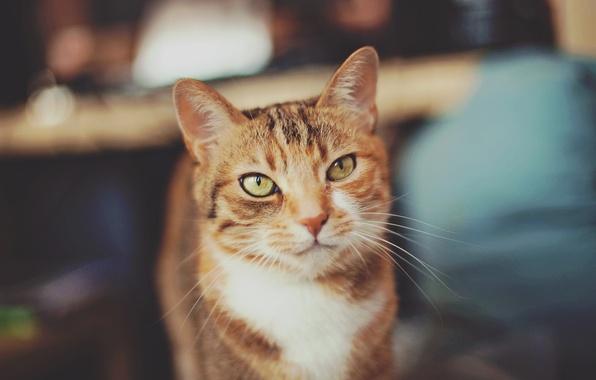 Картинка кошка, кот, взгляд, позирование, серо-рыжий