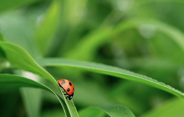 Картинка трава, зеленый, фон, листва, божья коровка, жук
