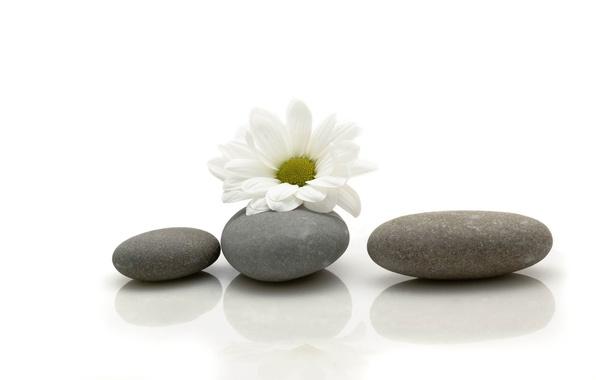 Картинка цветок, камни, ромашка