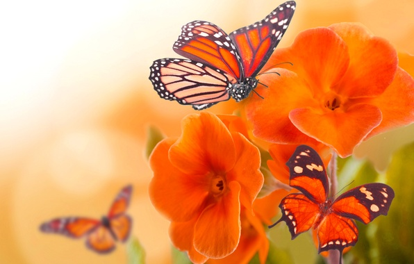 Картинка макро, цветы, бабочка, крылья, лепестки, насекомое