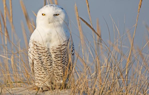 Картинка песок, трава, сова, птица, колоски, белая, полярная