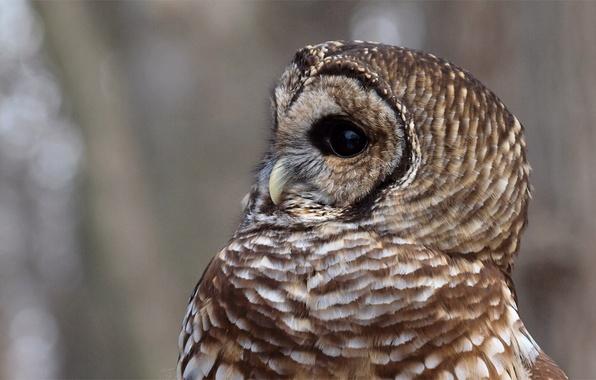 Картинка блики, серый, фон, сова, птица, профиль, Strix Varia, пестрая неясыть, Barred Owl