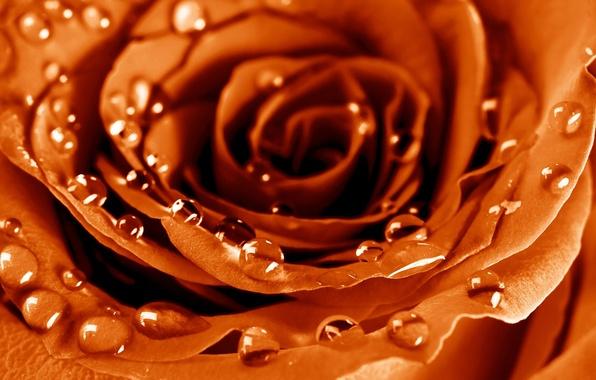 Картинка цветок, капли, макро, роса, роза, лепестки