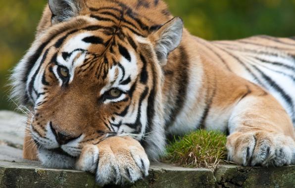Картинка кошка, взгляд, задумчивость, тигр, хищник