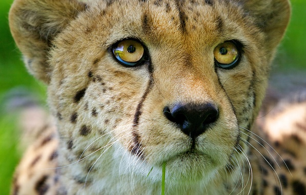 Картинка кошка, взгляд, морда, хищник, гепард