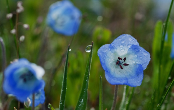 Картинка зелень, поле, цветок, лето, трава, вода, капли, макро, цветы, синий, природа, роса, дождь, голубой, поляна, …