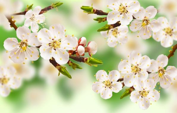 Картинка листья, цветы, дерево, ветка, весна, яблоня