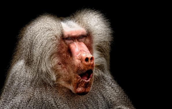Картинка взгляд, природа, обезьяна, Pavian