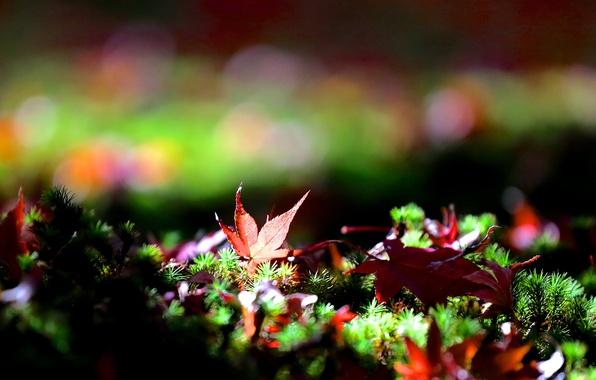 Картинка трава, листья, опавшие, кленовые, боке, осенние