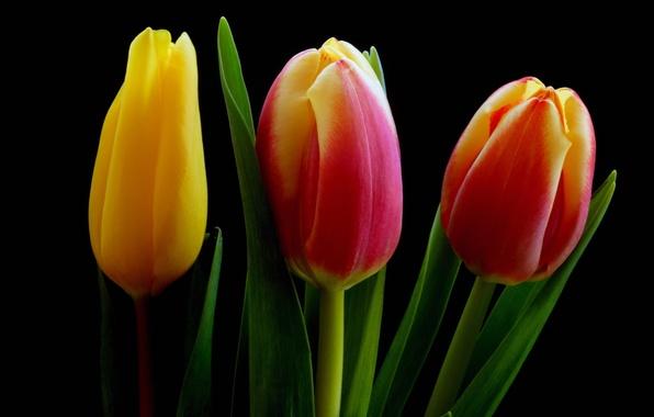 Картинка листья, макро, фон, лепестки, тюльпаны