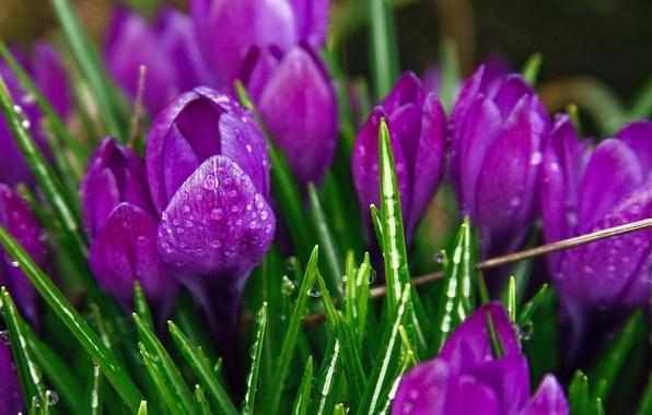 Картинка листья, капли, макро, роса, стебли, лепестки, тюльпаны
